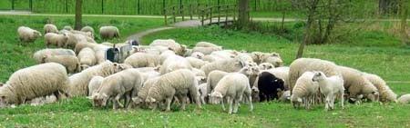 een zwart schaap temidden van witte